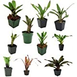 Bromeliad bundle - 10 plants