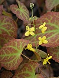 Perennial Farm Marketplace Epimedium x 'Frohnleiten' ((Barrenwort) Perennial, 1 Quart, Bright Yellow Flowers