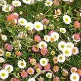 Erigeron- Karvinskianus Profusion- 50 seeds