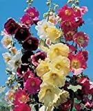 75+ Danish Hollyhock Seeds - DH Seeds - UPC078763960746