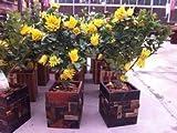 50 Seeds/Bag, Bergamot Seeds, Family Potted Plants,Gold Buddha Hand, Purify Air,Seeds Yellow Gold Buddha Hand