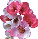 """Toyo Nishiki Flowering Quince - 2 1/2"""" potted Chaenomeles japonica 'Toyo-Nishiki' - 3""""- 5"""" Tall Healthy Shrub/Bush - 3 Pack by Growers Solution"""
