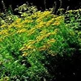 Herb Seeds - Tansy - 7000 Seeds