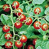"""Red Lake Currant Bush - Potted - Jelly Makers Love It - 2.5"""" Pot"""