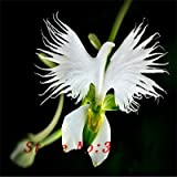 ``Hot `Hot selling 100pcs Peru Monkey Face Orchid Flower Seeds Phalaenopsis Bonsai Flower Plant Seeds DIY home garden