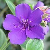 25 graines de TIBONE D' URVILLE(Tibouchina Urvilleana)H249 GLORY FLOWER SEEDS