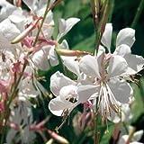 Outsidepride Gaura - 200 Seeds
