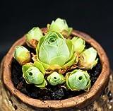Live Succulent Plant Mini Succulents (Aeonium aureum)