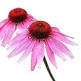 Echinacea - Purple Coneflower - 1000 Seeds