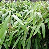 Indocalamus Tessellatus, Cold Hardy Tropical Bamboo Plant, up to 2' Long Leaves by Maya Gardens, Inc.