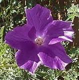 PURPLE HIBISCUS (Alyogyne Huegelii) 2 seeds