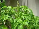 """200+ Tree Basil or """"Yee Lah"""" Herbal Seeds Vegetable Seeds"""