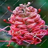 Kasuki New Arrival 100 pcs/Bag Rare Grevillea Flowers Beautiful Flower Australian Grevillea for Garden & Home Plants Bonsai - (Color: 5)