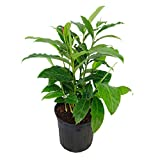 PlantVine Alpinia purpurata, Red Ginger - Large - 8-10 Inch Pot (3 Gallon), Live Plant