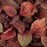"""Iresine, Blazin' Rose, Premium Annual Plants (4-Pack), 4.33"""" Pot"""