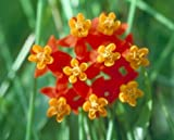 The Dirty Gardener Asclepias Curassavica Bloodflower Tropical Milkweed Flowers - 10,000 Seeds
