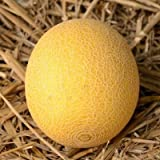 Galia Melon 25 Seeds Fresh This Seasons Harvest Fruit Seeds Fresh