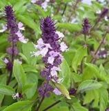 New Cinnamon Basil 10 + Seeds - Emerald green leaves with beautiful purple stems
