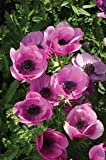 100 Bulb of Anemone coronaria - Sylphide - Windflower or Poppy Anemone