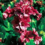 Outsidepride Bergenia Cordifolia Ground Cover Plant Seed - 200 Seeds