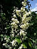 1 Yucca Plant Live COLD HARDY EVERGREEN White flowers succulent