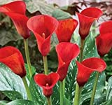 Breathtaking & Spectacular Calla Lily Red Alert Bulb, Plant, Root Start