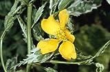 4 Starter Plants of Kerria Japonica Variegata