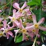 1 Starter Plant of Trachelospermum Jasminoides 'Pink Showers'