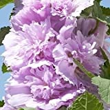 Lulan Purple Lilac 25 Seeds - Syringa vulgaris - Shrub/Tree