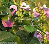 Canavalia gladiata Sword Bean 5 Seeds Ornamental Tropical Vine Lavender Blooms