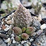 1 Adromischus Marianae Herrei Cactus Cacti Succulent Real Live Plant