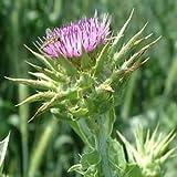Outsidepride Milk Thistle Herb Plant Seed - 200 Seeds