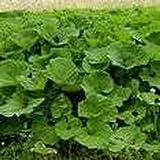seedusa 25 Seeds Greater Burdock (Arctium lappa) Edible Plant