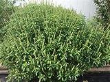 African Basil, Basil African, Ocimum Canum (Organic) (100 seeds per pack)