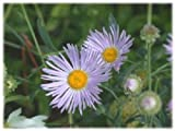 30+ ASTER BOLTONIA ASTEROIDES / PERENNIAL FLOWER SEEDS / DROUGHT TOLERANT