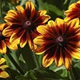 Outsidepride Rudbeckia Hirta Autumn Forest Flower Seed - 5000 Seeds