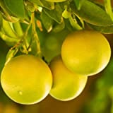 Ruby Red Grapefruit Tree - 3-4 ft.
