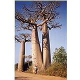 "Hinterland Trading 5 True Adansonia Digitata ""Baobab"" Bottle Tree Seeds Rare Find"