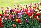 SILKSART 50 Easter Joy Mix Tulip Bulbs - Tulipa Triumph: Super-Sized X-tra Value Bag