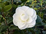 Camellia White by The Gate, 1 GAL