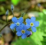Myosotis sylvatica | Woodland Forget Me Not | 20_Seeds