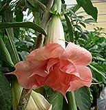 (10) Pink Angel Trumpet Brugmansia Fragrant Flowering Plant Seeds