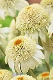 Milkshake Coneflower Perennial - Echinacea - White - Live Plant - Gallon Pot