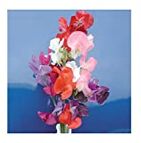 David's Garden Seeds Flower Sweet Pea Mammoth Choice Mix SL1408 (Multi) 50 Non-GMO, Heirloom Seeds