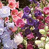 150 Mixed Colors CUP & SAUCER (Canterbury Bells) Campanula Medium Flower Seeds