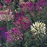 250 MIXED COLORS QUEEN CLEOME (Spider Flower) Cleome Hasslerana Flower Seeds