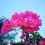 Sale!100 Pcs A Lot Rare Rose Pink Bougainvillea Spectabilis Seeds Perennial Bonsai Plant Flower Seeds,#E9468P