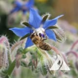 Outsidepride Borage Herb Plant Flower Seed - 1 OZ