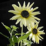 25 ITALIAN WHITE SUNFLOWER Helianthus Debilis Flower Seeds