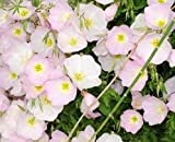 NEW Oenothera Padilla - Primrose , WHITE FLOWER Evening , RARE PERENNIAL 230 + Seeds !